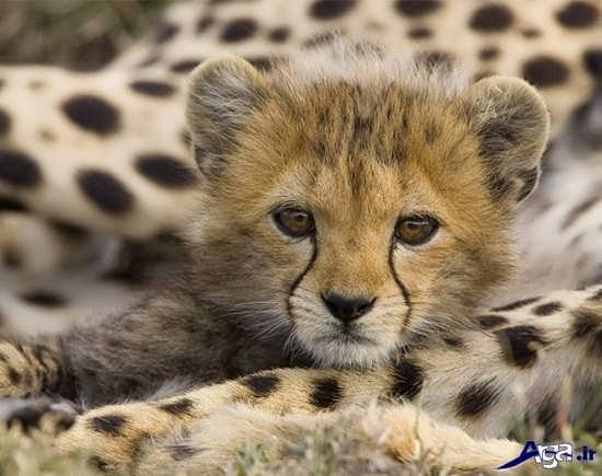 عکس بچه یوزپلنگ