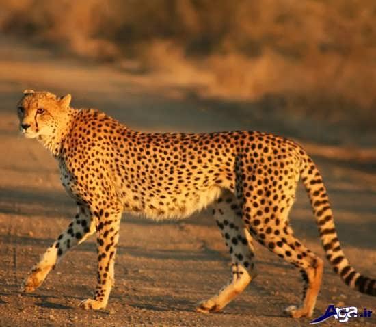 عکس از یوزپلنگ ایرانی