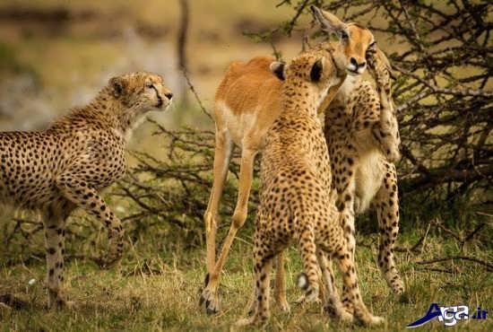 آموزش شکار به یوزپلنگ