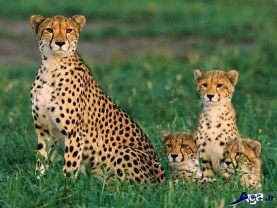 یوزپلنگ ماده و بچه هایش