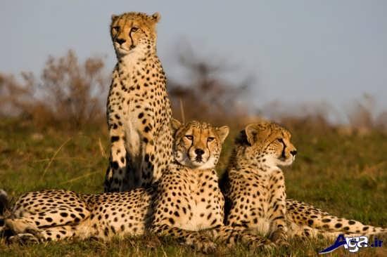 یوزپلنگ های ایرانی