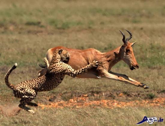 یوزپلنگ در حال شکار آهو