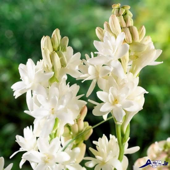 تصاویر گل مریم