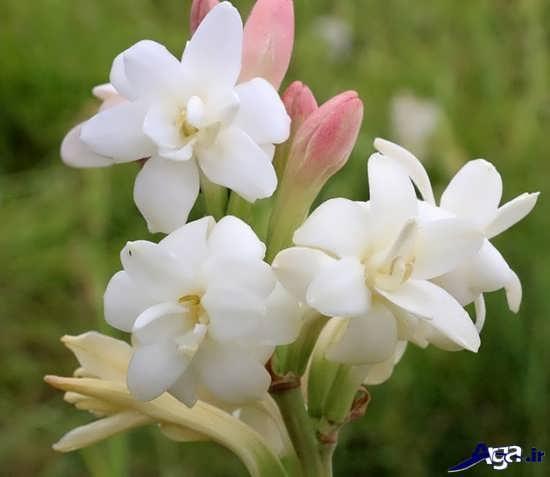عکس های گل مریم