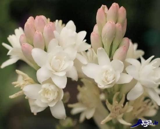 عکس از گل های مریم
