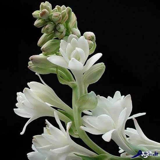 گل مریم زیبا و دلچسب