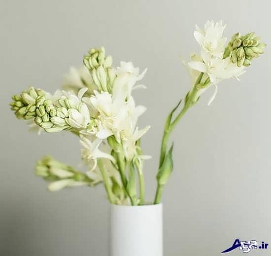 تصاویر زیبا از گل مریم