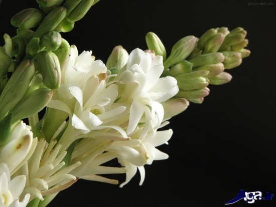 گل های مریم زیبا