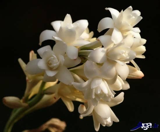 عکس زیبای گل مریم