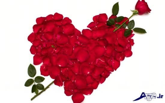 عکس گل سرخ عاشقانه
