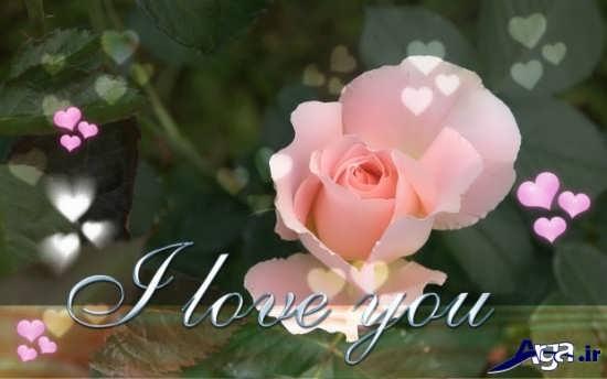 عکس گل رز صورتی عاشقانه
