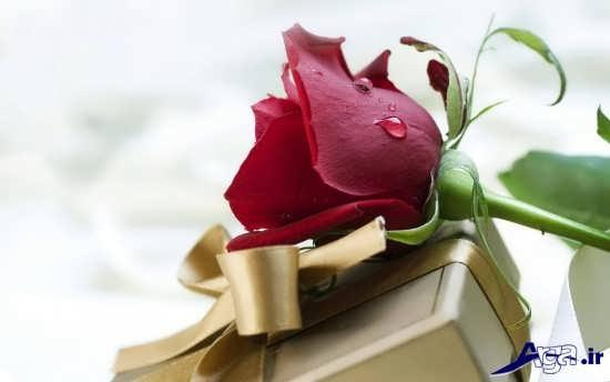 عکس گل رز سرخ عاشقانه