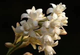 تصاویر گل مریم زیبا