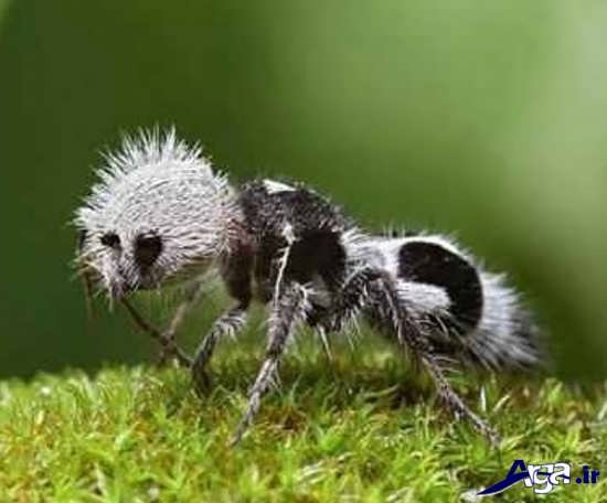 عکس مورچه عجیب و غریب