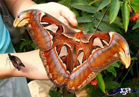 عکس پروانه بسیار عجیب و بزرگ