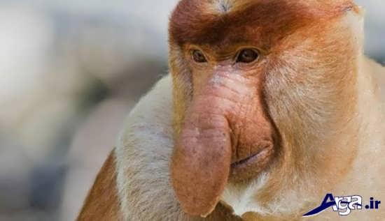 عکس میمون عجیب