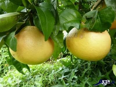 میوه جدید پوملو