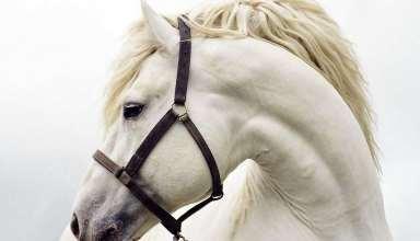 عکس اسب سفید