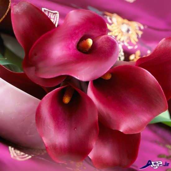 عکس زیبای گل شیپوری