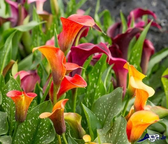 گل زیبای شیپوری و انواع آن