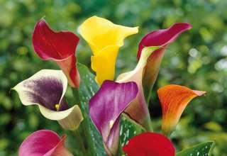 عکس گل شیپوری و آشنایی با انواع آن