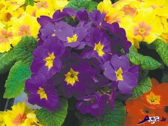 عکس گل پامچال بومی اروپا