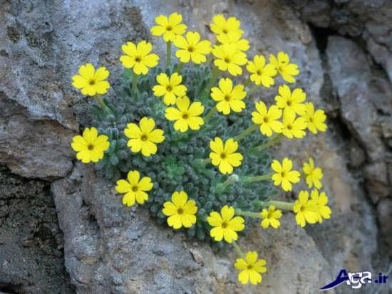 عکس گل پامچال در مناطق کوهستانی