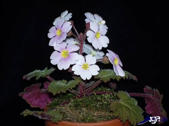 گونه های گل پامچال
