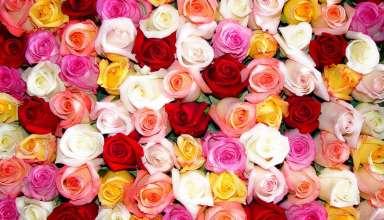 عکس گل های سرخ