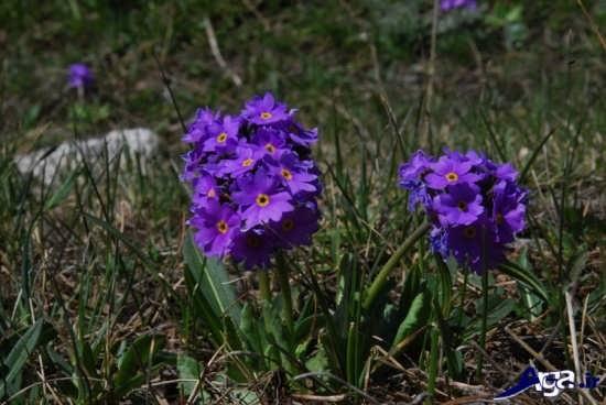 عکس گل پامچال زمستانی