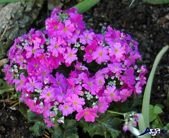عکس گل پامچال در گونه ای خاص