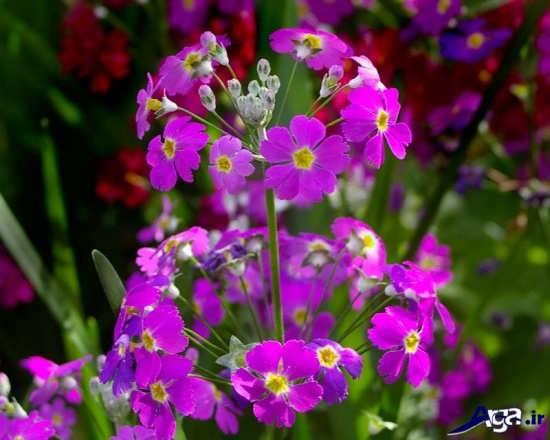 تصاویر گل پامچال