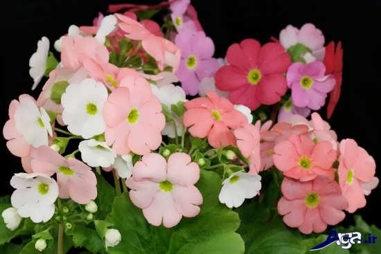 عکس گل پامچال در رنگ هایی زیبا