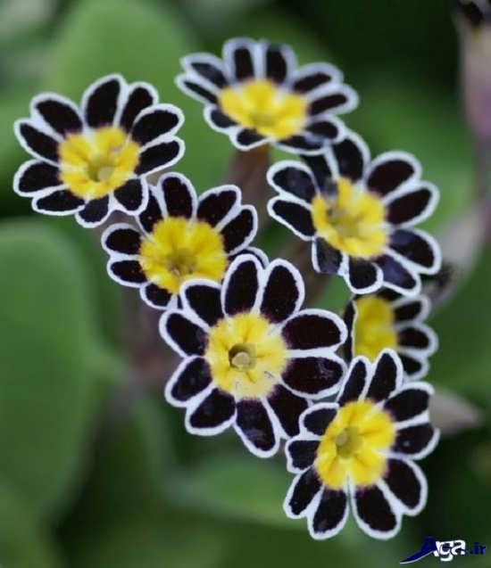 عکس گل پامچال زینتی و معطر