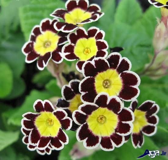 عکس گل پامچال در گونه های متنوع