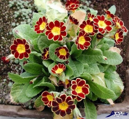 عکس گل پامچال