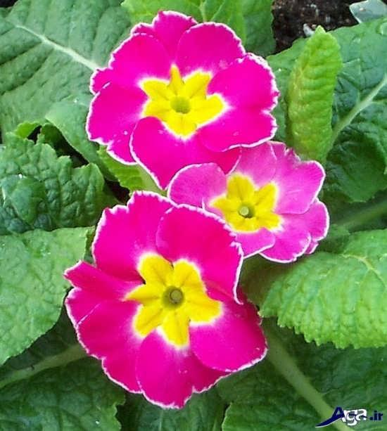 عکس گل پامچال در گونه کرک دار