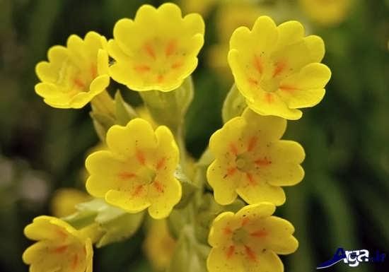 انواع گل های پامچال