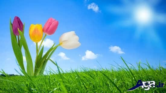 چند گل لاله زیبا در این عکس طبیعت بهاری