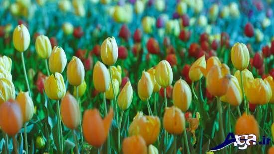 رویش گلهای لاله وحشی در فصل بهار
