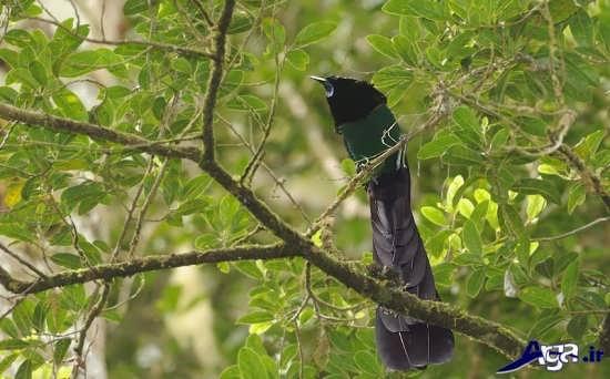 عکس پرنده های بهشتی دم دراز