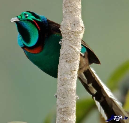 تصویر زیبای پرنده بهشتی