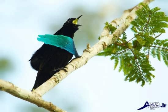 پرنده بهشتی عالی