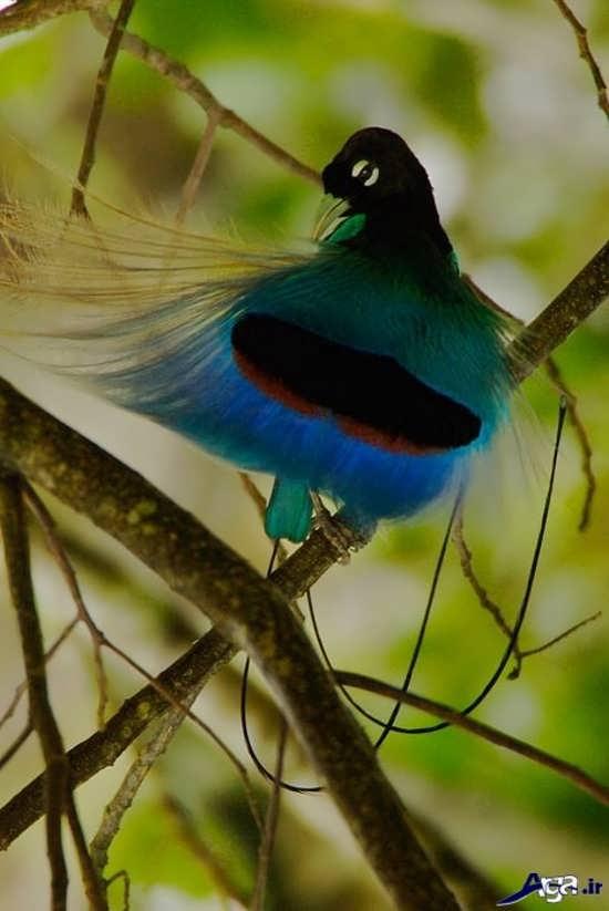 عکس زیبای پرنده های بهشتی