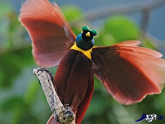 عکس پرنده بهشتی قرمز