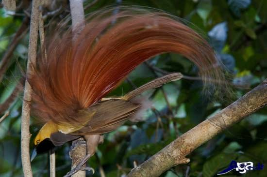 عکس پرنده بهشتی زیبا