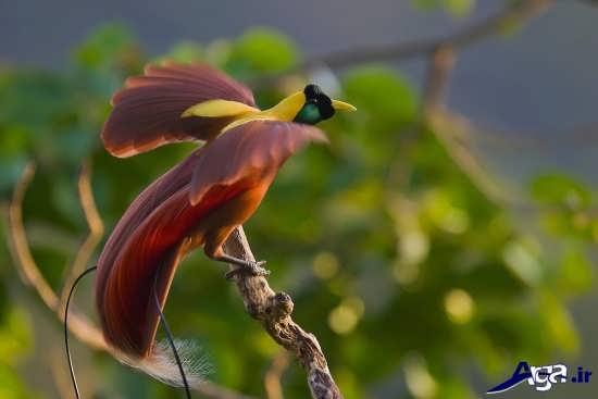 عکس پرندگان بهشتی دیدنی و جذاب