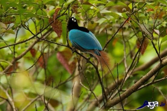 پرنده بهشتی زیبا