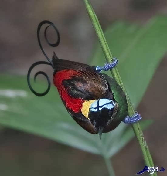 عکس پرنده بهشتی آواز خوان