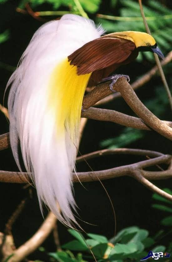 عکس پرندگان بهشتی تماشایی